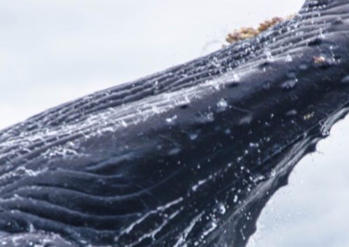 Humpback Whales Breaching Video Goes Viral