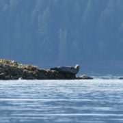 desolation-sound-1138-funny-seal-on-rock-bender