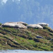 discovery-islands-1241-seals