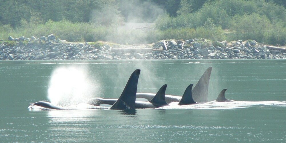orca-camp-1045-killer-whales-surfacing