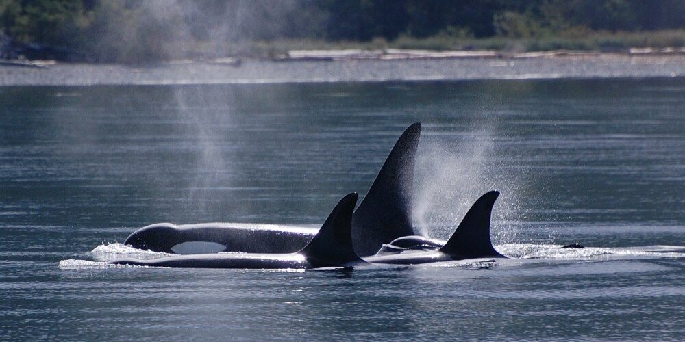 orca-camp-1047-killer-whales-surfacing