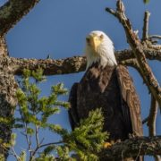 orca-camp-1218-bald-eagle