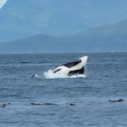 orca-camp-1222-killer-whale-surfacing