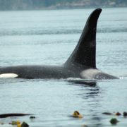 orca-camp-1228-killer-whale-surfacing