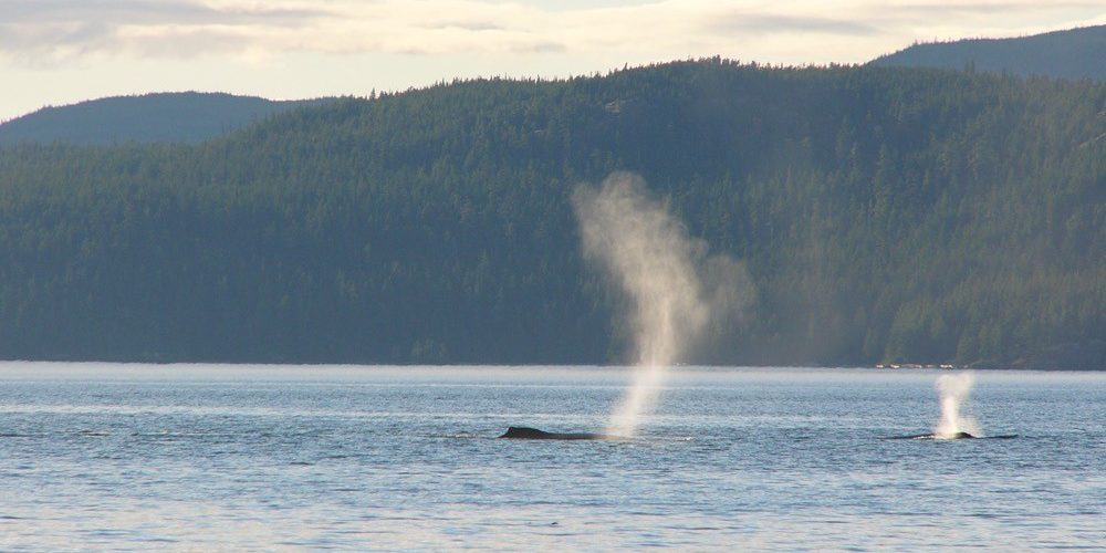 orca-camp-1282-humpbacks-johnstone-strait-1000x750