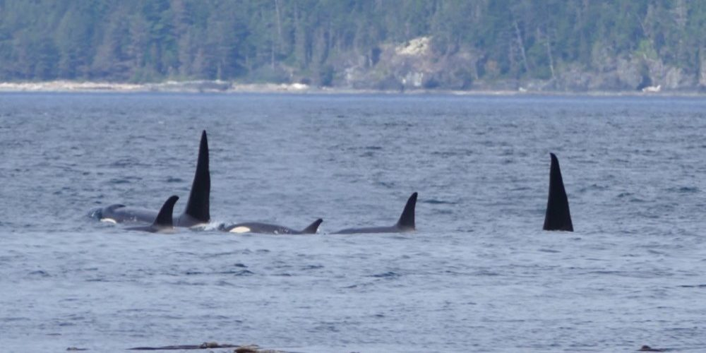 orca-camp-1654-orcas-killer-whales-1000x799