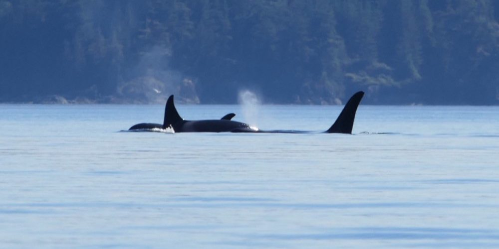 orca-camp-1661-orcas-killer-whales-1000x742