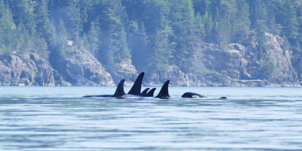 orca-camp-1663-orcas-killer-whales-1000x532