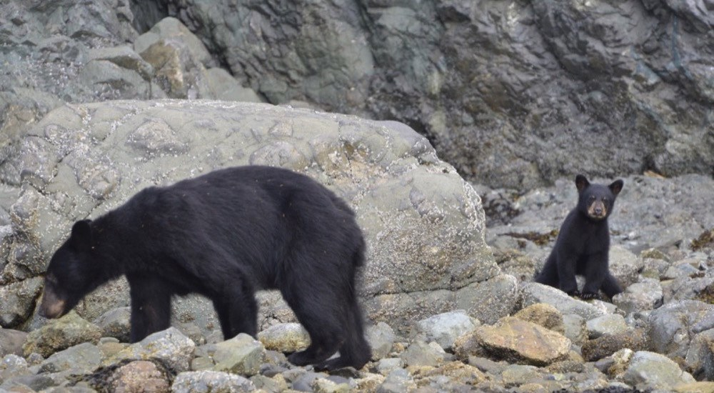 black bears on cracroft island bc