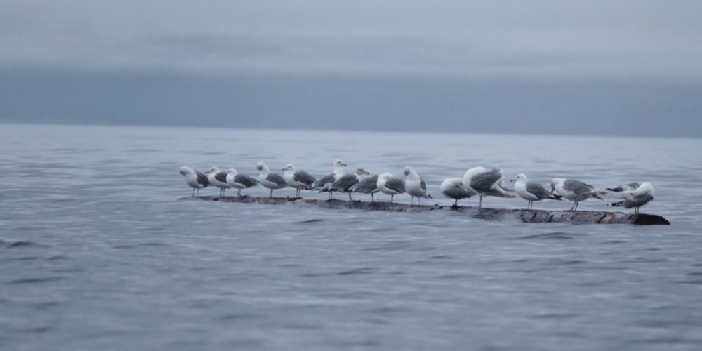 orca-camp-1689-wildlife-seagulls-1000x666