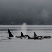 orca-camp-1727-orcas-killer-whales-1000x542