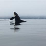 orca-camp-1732-orca-killer-whales