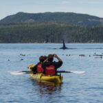 kayaking with orca whales in johnstone strait, british columbia canada