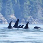 orca whales in johnstone strait, british columbia canada
