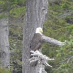 eagle in johnstone strait, british columbia canada