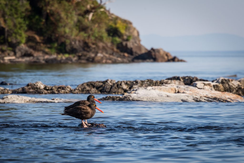pacific-northwest-birds-black-oystercatcher