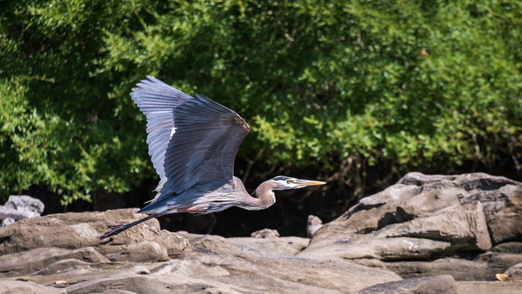 pacific-northwest-birds-great-blue-heron