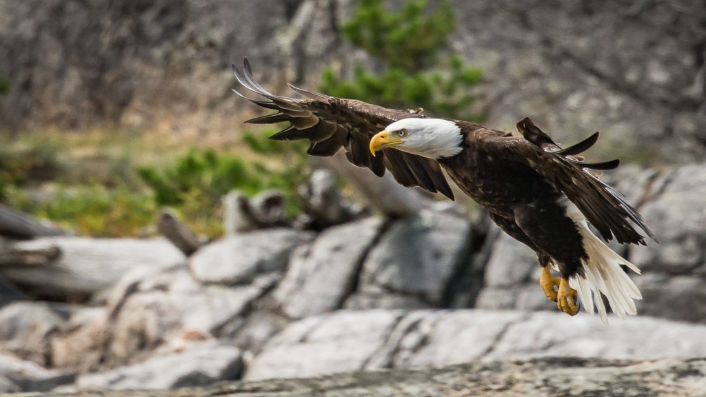 pacific-northwest-birds-bald-eagle