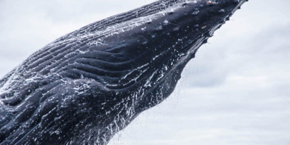 discovery-islands-1261-humpback-whale-breaching
