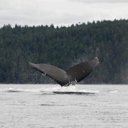 discovery-islands-1263-humpback-whale-tail