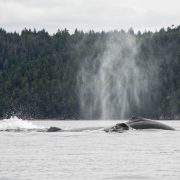 discovery-islands-1264-humpback-whales