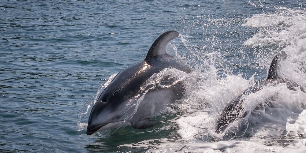 discovery-islands-1266-pacific-white-sided-dolphins