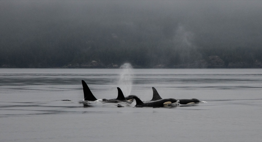 killer whales in johnstone strait british columbia