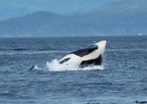 The Magnificent Orca and the Robson Bight Ecological Reserve