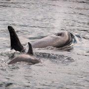 whales-wildlife-wilderness-kayaking-005-orca