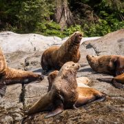 whales-wildlife-wilderness-kayaking-016-sea-lions